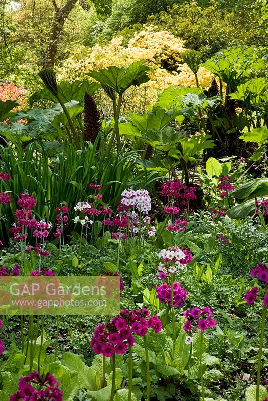 Woodland garden in Spring with Primula candelabra, Iris pseudacorus and Gunnera - The Savill Garden, Windsor Great Park