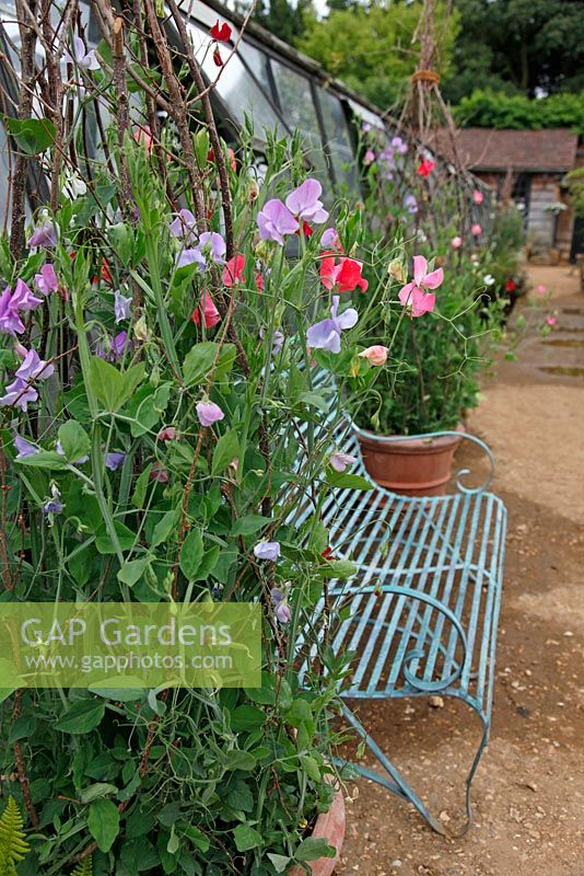 Sensational Gap Gardens Blue Metal Bench And Lathyrus Sweet Peas In Camellatalisay Diy Chair Ideas Camellatalisaycom