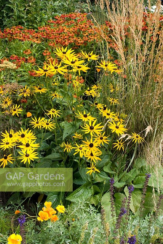 Rudbeckia fulgida 'Goldsturm', Helenium 'Rubinzwerg' and Calamagrostis acutiflora 'Overdam'' in late summer at Church View, Appleby-in-Westmorland, Cumbria NGS