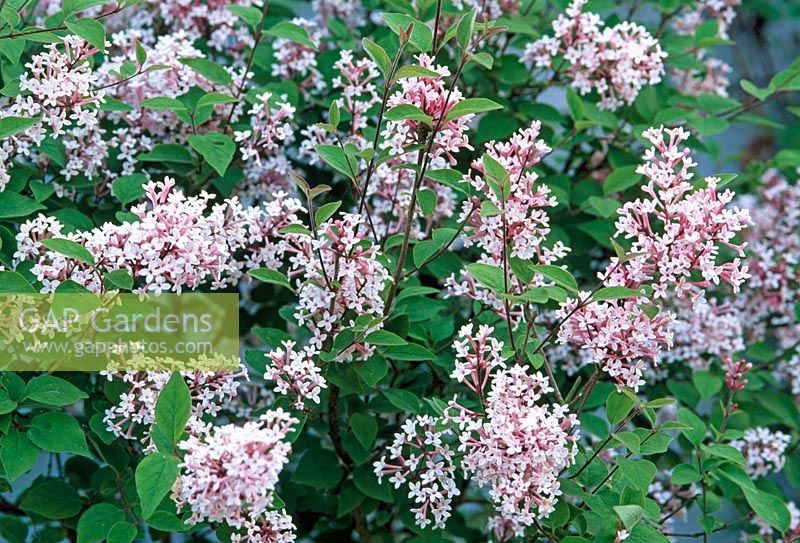 gap gardens syringa pubescens subsp microphylla 39 superba 39 image no 0225296 photo by rob. Black Bedroom Furniture Sets. Home Design Ideas
