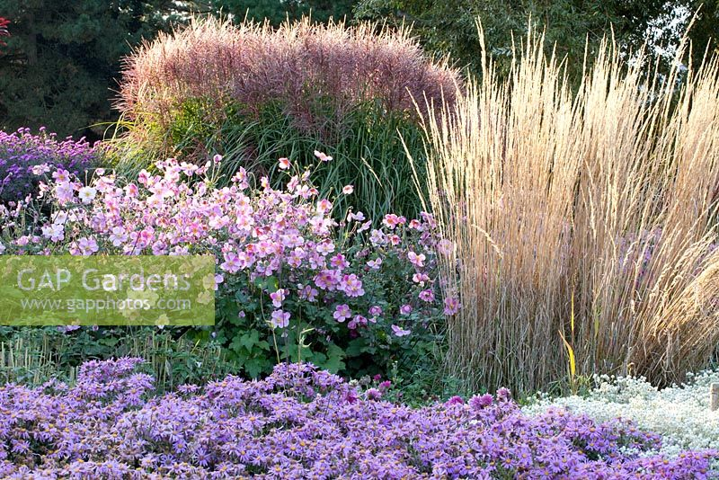 Aster amellus, Miscanthus, Calamgrostis, Anemone japonica 'Rosenschale'