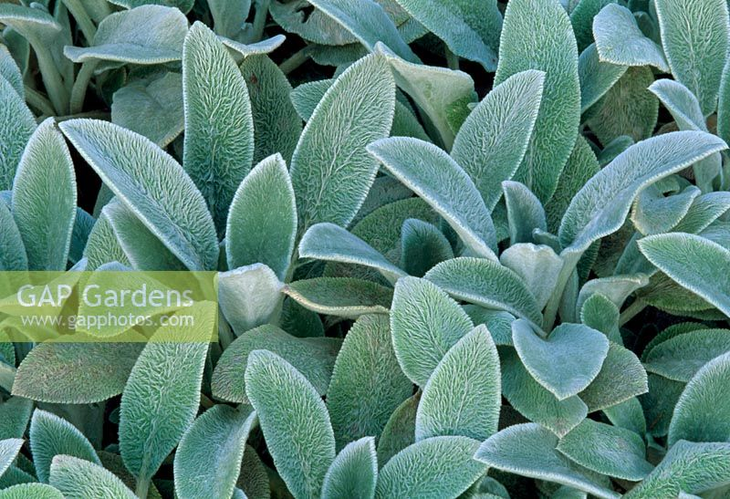 Stachys byzantina 'Silver Carpet' - Lambs Ears