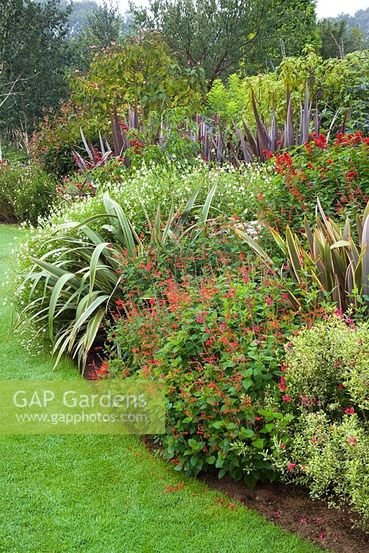 Autumn border of Salvias and Phormiums including Salvia elegans - Pineapple Sage, Salvia microphylla 'Hot Lips' and Salvia splendens 'Van Houttei', Phormium cookianum subsp. hookeri 'Tricolor'. Ashwood Nurseries