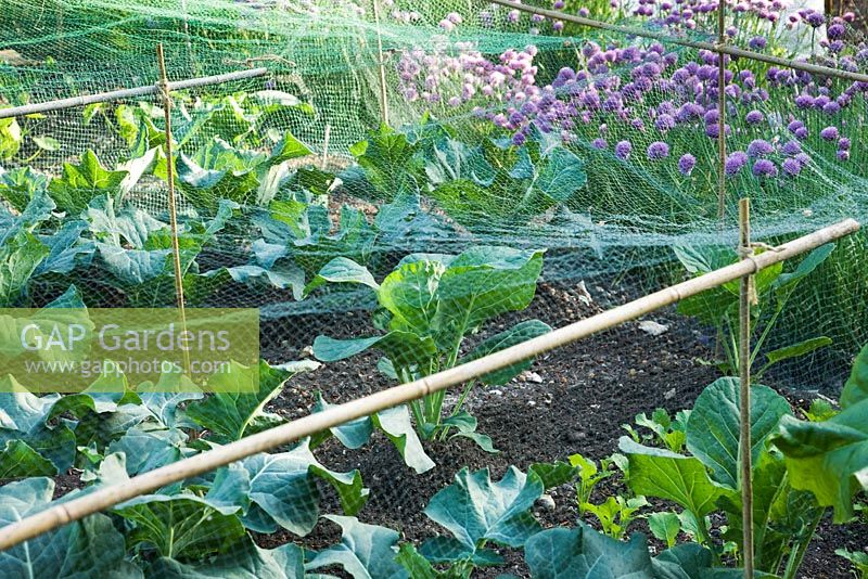 Decorative potager in Summer, with Brassicas protected under green netting and Allium schoenoprasum - Chives behind.
