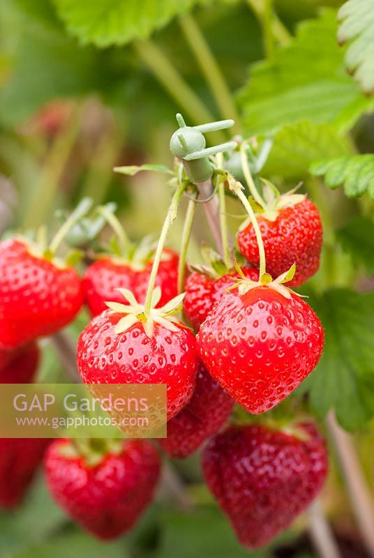 Fragaria - Strawberry 'Sonata' displayed for show