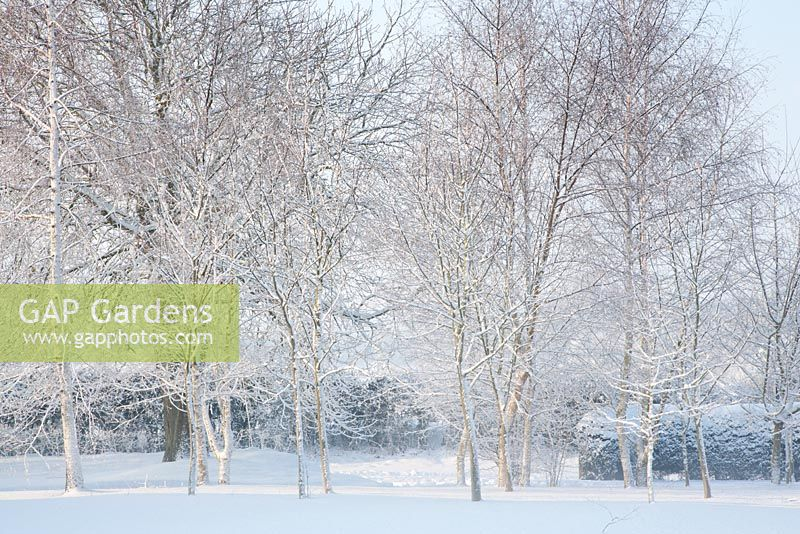 Small Woodland copse in garden, in Snow and mist. Including Betula pendula - Silver Birch, Sorbus aucuparia - Rowan, Acer campestre - Field Maple, Corylus avellana - Hazel and Aesculus hippocastanum - Horse Chestnut at back