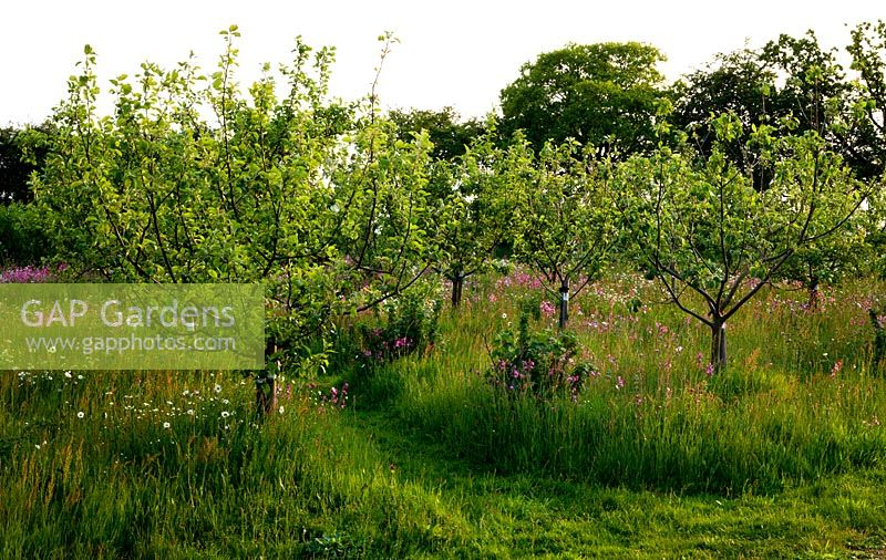 Organic orchard with wildflowers at sunset. Apples include 'Dr Harvey', a traditional Norfolk cooker and 'Green Roland'. Flowers include  Leucanthemum vulgare - Ox-eye Daisy, Silene dioica - Red Campion and Rumex acetosella - Sheeps Sorrel