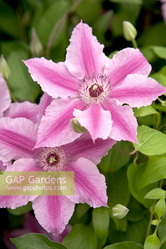 gap gardens clematis 39 ooh la la 39 rhs chelsea flower. Black Bedroom Furniture Sets. Home Design Ideas