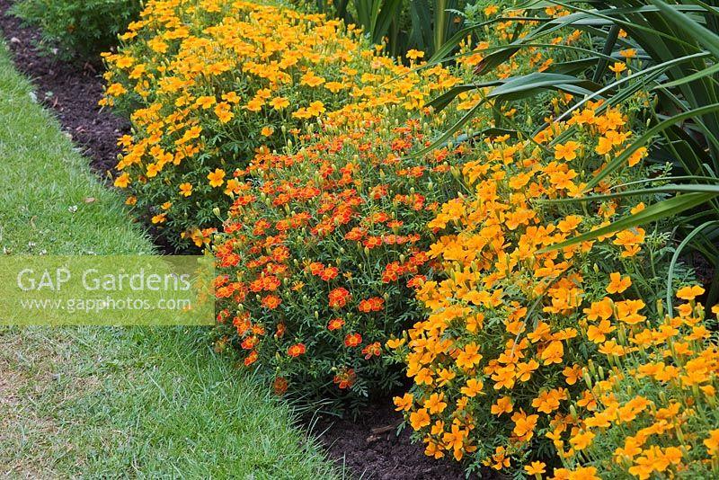 GAP Gardens - Tagetes \'Red Gem\' and Tagetes \'Tangerine Gem\' at the ...