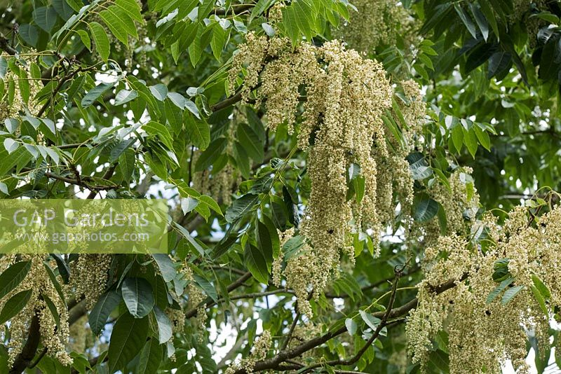 Ailanthus altissima flowering in July - Tree of Heaven. The Savill Garden, Windsor Great Park
