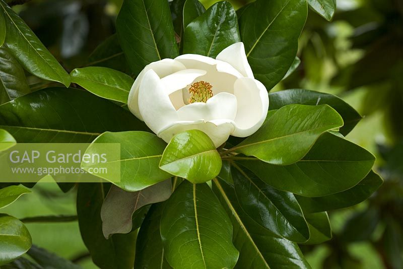 Magnolia grandiflora 'Maryland' flowering in July. The Savill Garden, Windsor Great Park