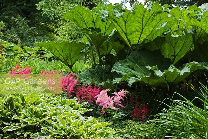 Gunnera manicata, Astilbe x arendsii 'Spinell' and variegated foliage of Hosta 'So Sweet' in July - The Savill Garden, Windsor Great Park