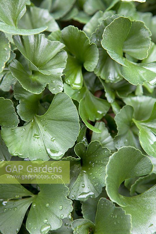 gap gardens ginkgo biloba 39 troll 39 image no 0229117. Black Bedroom Furniture Sets. Home Design Ideas