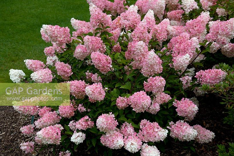 gap gardens hydrangea paniculata vanille fraise 39 renhy 39 image no 0231045 photo by fhf. Black Bedroom Furniture Sets. Home Design Ideas