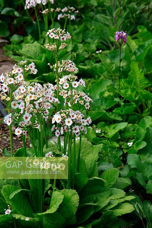 Primula japonica 'Postford White' - June Blake's garden and nursery Co. Wicklow, Ireland