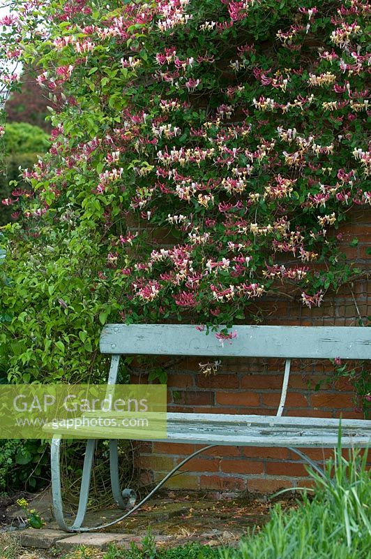Wooden bench next to wall with Lonicera - Honeysuckle. High Hall Suffolk, UK
