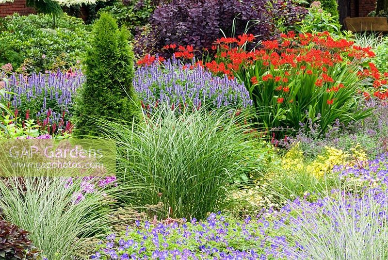 Mixed border with Geranium x 'Rozanne', Miscanthus sinensis 'Morning Light' - Chinese Silver Grass, Thuja occidentalis 'Smaragd' - Yellow Cedar, Phlox paniculata, Agastache 'Blue Fortune', Crocosmia Lucifer - Montbretia and Cotinus. The Bloom Hills Garden, at zu Jeddeloh Pflanzenhandels Germany. July