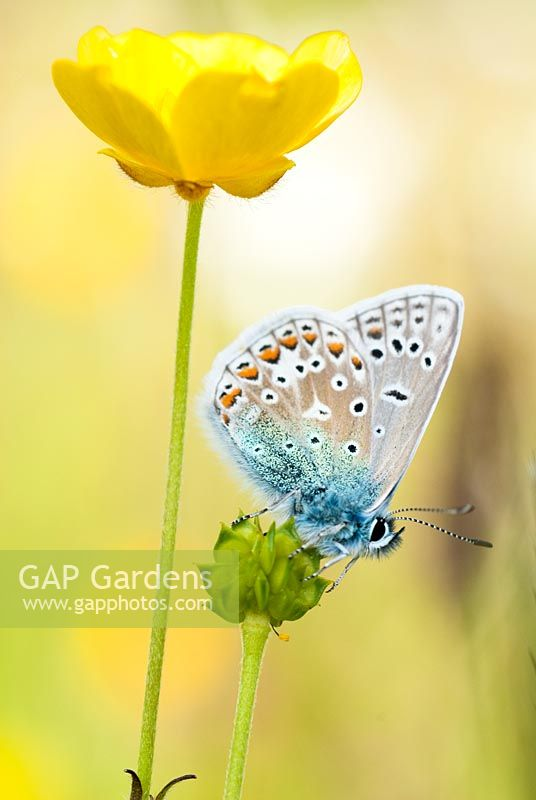 Polyommatus icarus - Male Common Blue Butterfly,  on Ranunculus Acris - Meadow Buttercup,  June
