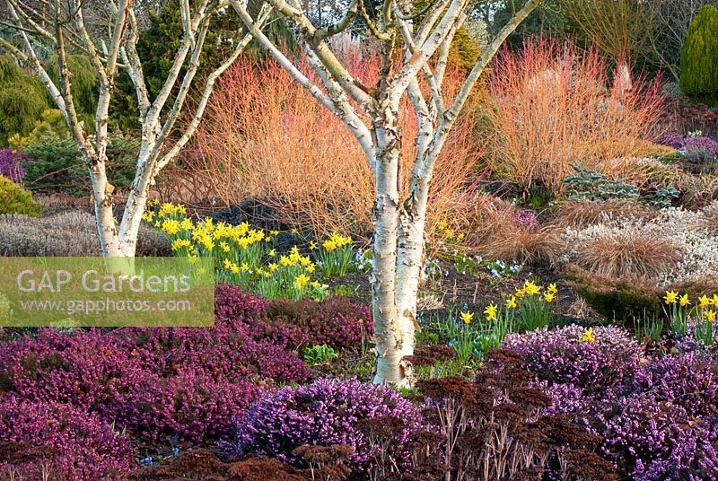 The Winter Garden in March with Betula apoiensis 'Mount Apoi', Cornus sanguinea 'Midwinter Fire', Erica carnea 'Myretoun Ruby' and Erica x darleyensis 'Kramer's Rote' - The Bressingham Gardens, Norfolk