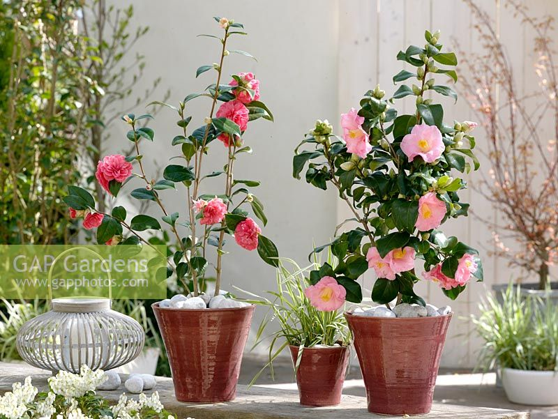 gap gardens camellia japonica il tramonto and camellia japonica laurie bray in pots