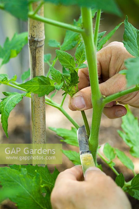 Pinching out sideshoots on tomatoes in the greenhouse with a penknife