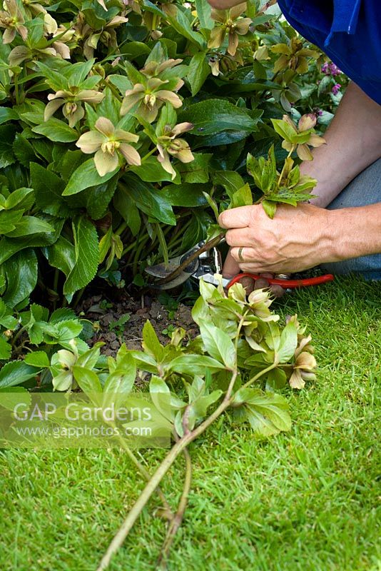 Deadheading hellebores by removing faded flowers