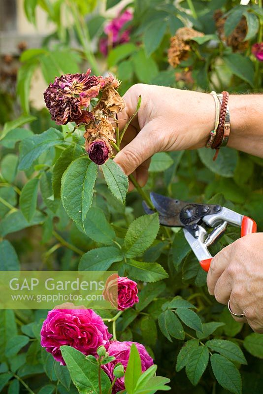 Deadheading a rose by removing faded blooms after they have finished flowering