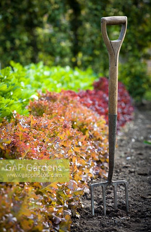 Fork standing in the ground in a vegetable garden next to rows of lettuce