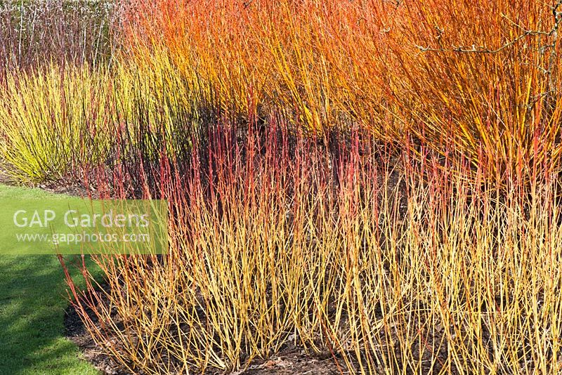 Cornus Sanguinea U0027Magic Flameu0027 And Cornus Stalonifera U0027White Goldu0027   Broadview  Gardens