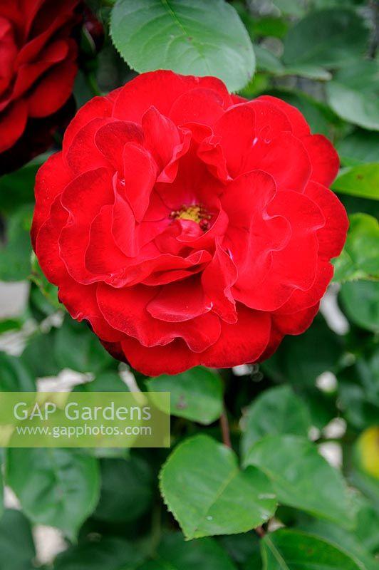 gap gardens rosa 39 lili marlene 39 kordes 1959 image. Black Bedroom Furniture Sets. Home Design Ideas