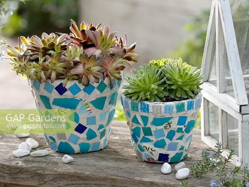 The finished pots decorated with mosaic pieces and planted with Sempervivum