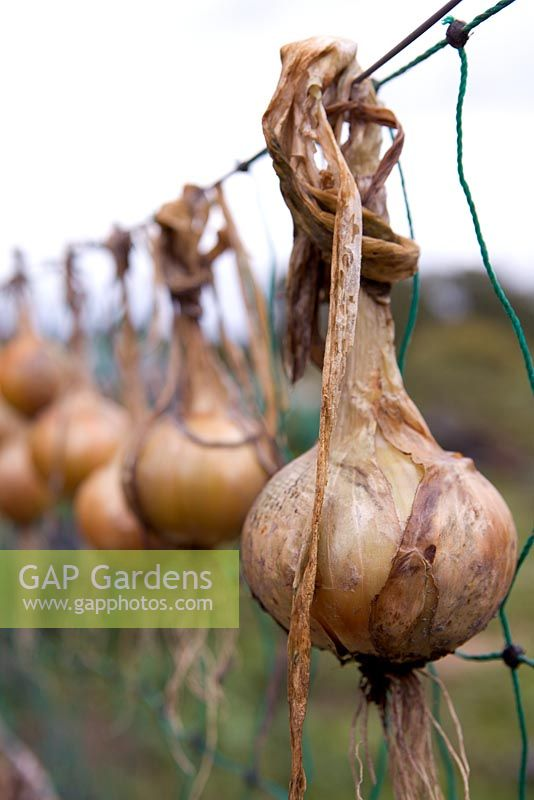 Hanging out onions to dry