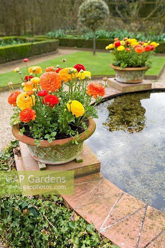 Ranunculus In Pots Around Raised Garden Pond
