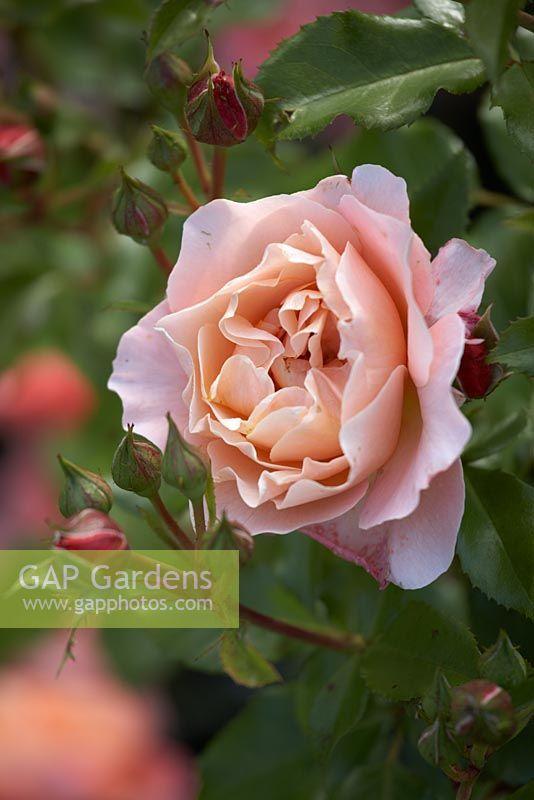 gap gardens rosa 39 marie curie 39 image no 0235574. Black Bedroom Furniture Sets. Home Design Ideas