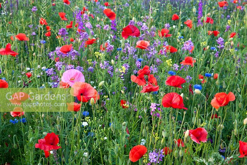 Flower meadow with Papaver rhoeas, Centaurea cyanus and Hesperis matronalis