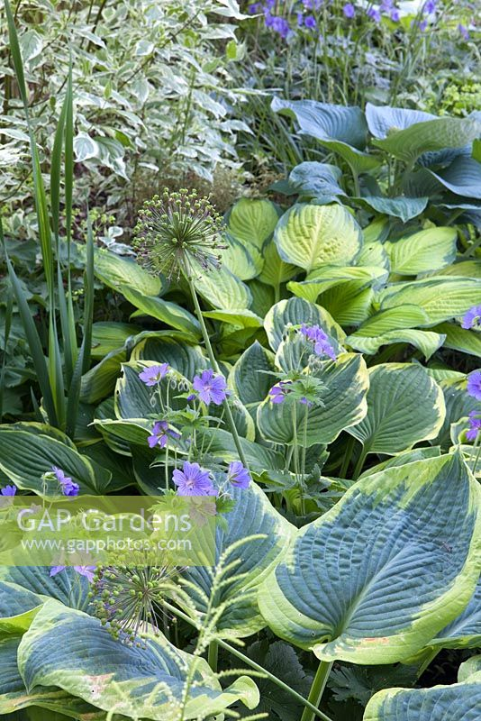 Summer bed of Hosta 'Gold Standard', Allium aflatunense 'Purple Sensation', Hosta sieboldiana 'Frances Williams', Hosta Hybride 'Fortunei Aureomarginata', Hosta 'Gold Standard' and Hosta sieboldiana 'Elegans'