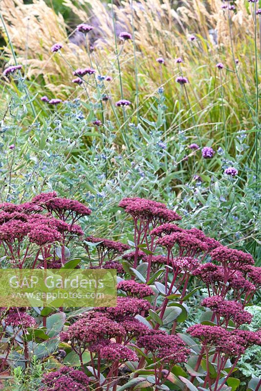 Bed of Sedum 'Matrona', Caryopteris cladonensis, Verbena bonariensis and Stipa calamagrostis