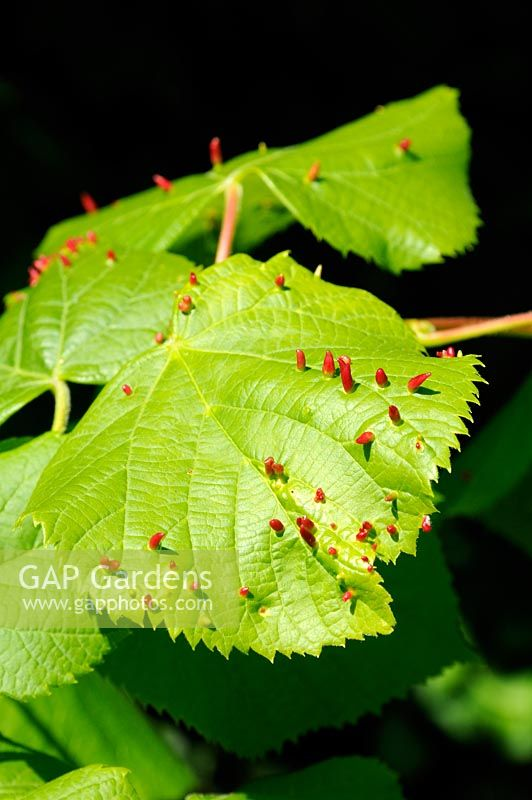 Eriophyes tiliae - Lime nail gall mite on Tilia leaf