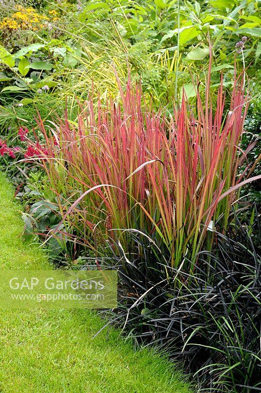 Gap gardens grass summer border with imperata cylindrica 39 red baron 39 syn 39 rubra 39 blood grass - Imperata cylindrica red baron ...