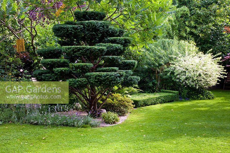 Gap gardens taxus topiary lavandula and salix integra 39 hakuro nishiki image no 0238427 - Salix hakuro nishiki taille ...