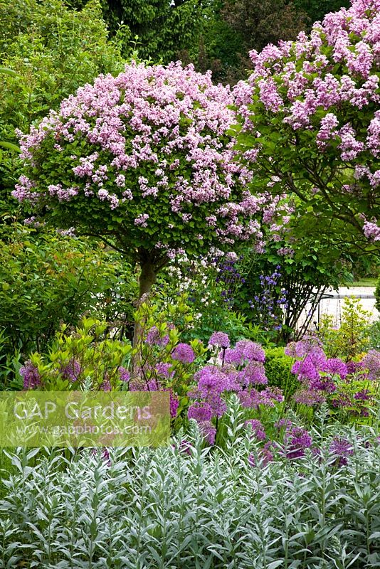 gap gardens syringa microphylla 39 superba 39 standards underplanted with allium aflatunense. Black Bedroom Furniture Sets. Home Design Ideas