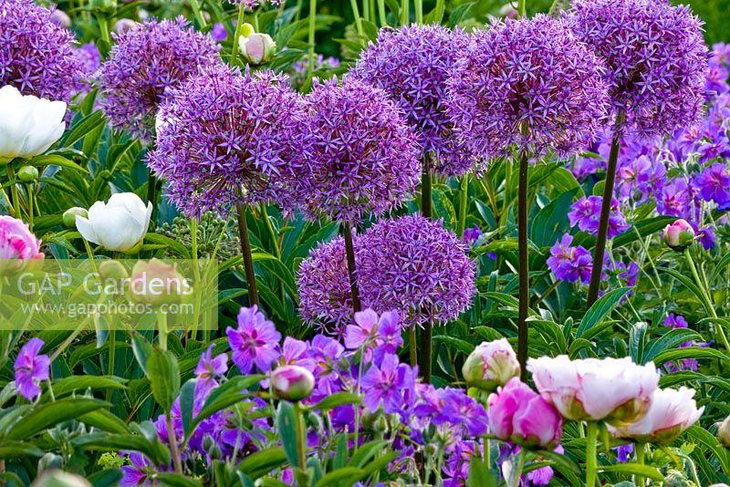gap gardens allium aflatunense 39 purple sensation 39 geranium magnificum and paeonia lactiflora. Black Bedroom Furniture Sets. Home Design Ideas