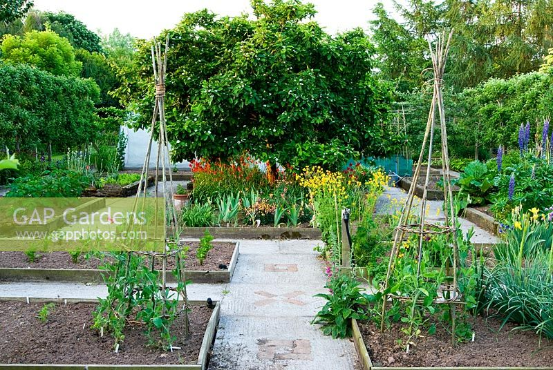 Formal kitchen garden with central medlar tree underplanted with Tulipa sprengeri and wallflowers - Ivy Croft, Leominster, Herefordshire, UK