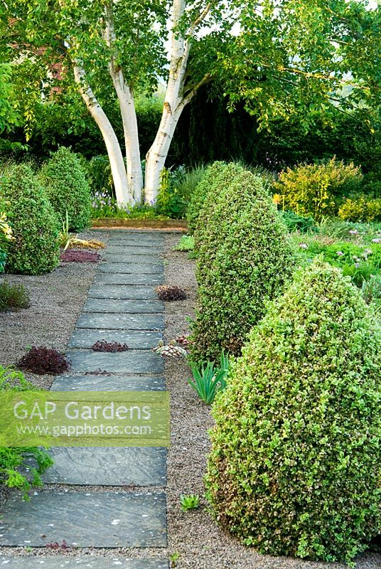 Slab and gravel path framed by cones of Buxus sempervirens 'Elegantissima' leads toward a white stemmed Betula platyphylla. Clumps of Sempervivum and hardy Geranium grow in the gravel - Ivy Croft, Leominster, Herefordshire, UK