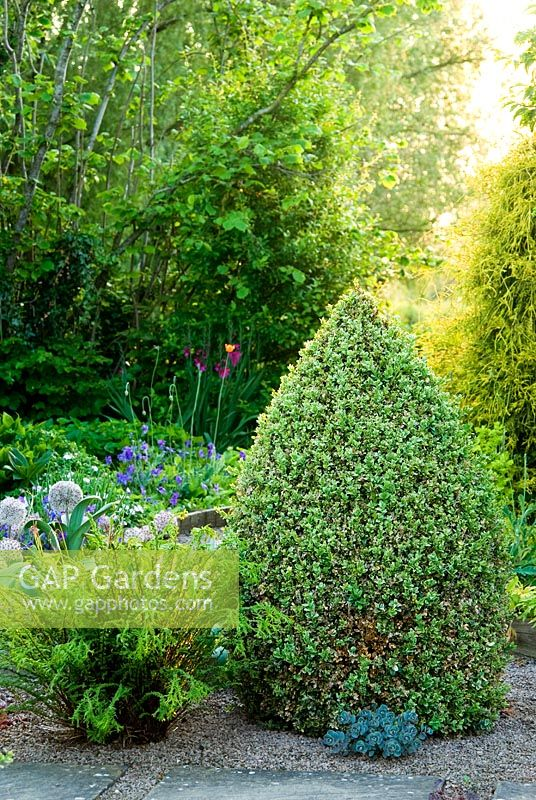 Clipped cones of Buxus sempervirens 'Elegantissima' frame a path of slabs set into gravel - Ivy Croft, Leominster, Herefordshire, UK