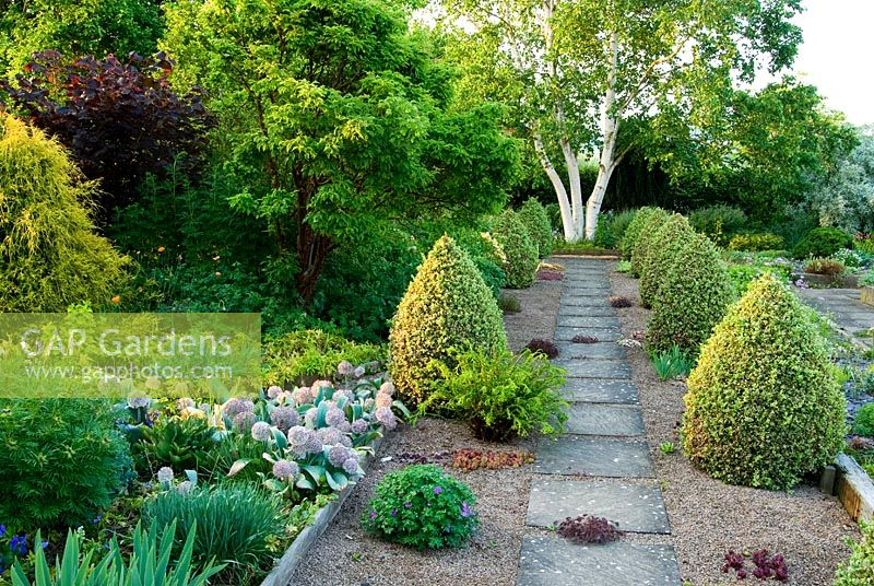 Slab and gravel path framed by cones of Buxus sempervirens 'Elegantissima' leads towards Betula platyphylla. Clumps of Sempervivum and hardy Geranium grow in the gravel - Ivy Croft, Leominster, Herefordshire, UK