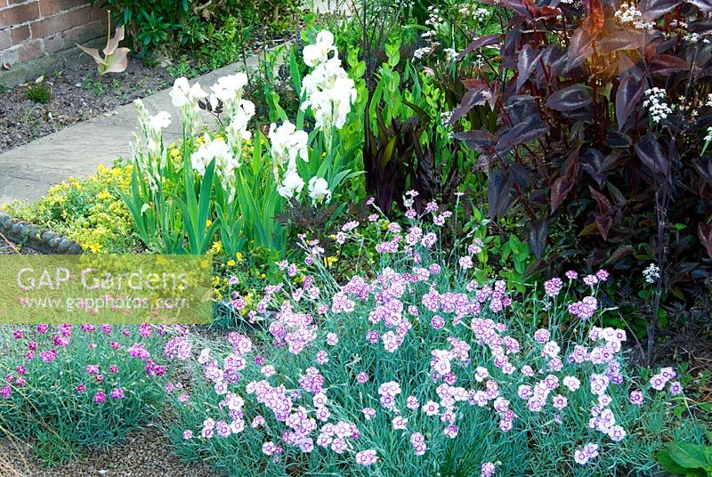 Front garden planting includes Prostrate hypericum, white Iris 'White Knight', Persicaria microcephala 'Red Dragon' and Dianthus 'Jane Austen' - Ivy Croft, Leominster, Herefordshire, UK