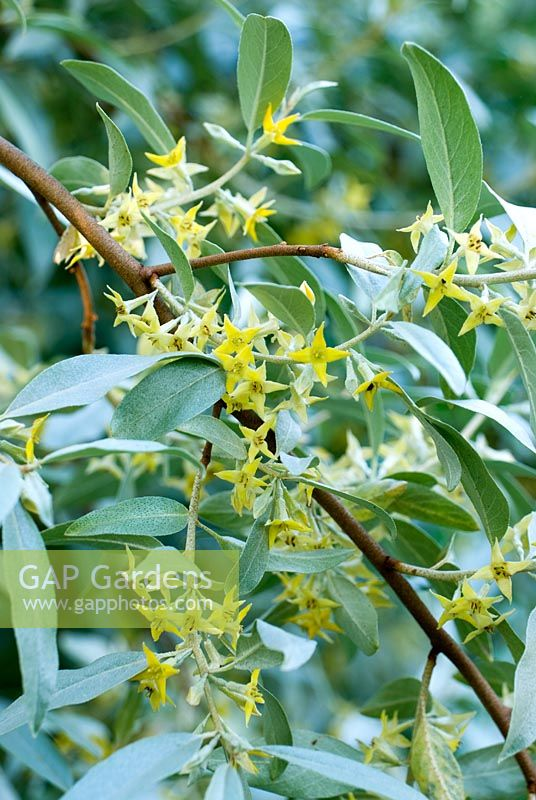 Eleagnus 'Quicksilver', AGM - Ivy Croft, Leominster, Herefordshire, UK