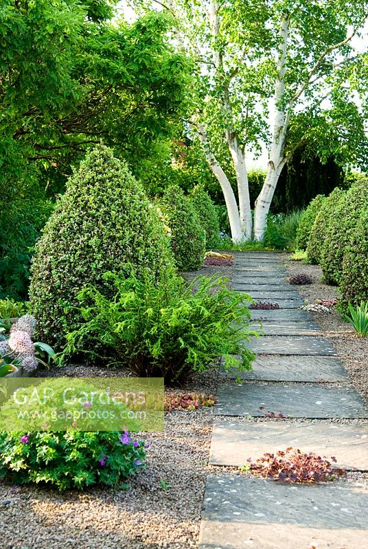 Slab and gravel path framed by cones of Buxus sempervirens 'Elegantissima' leads toward Betula platyphylla. Clumps of Sempervivum and hardy Geranium grow in the gravel - Ivy Croft, Leominster, Herefordshire, UK