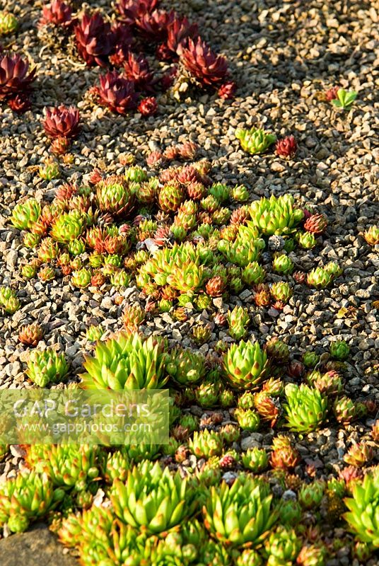 Sempervivums in gravel - Ivy Croft, Leominster, Herefordshire, UK